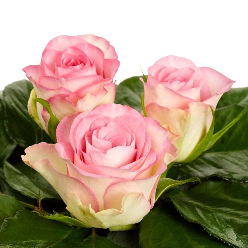 Medium Roses Sher Ethiopie